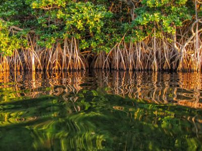 mangrov ağacı